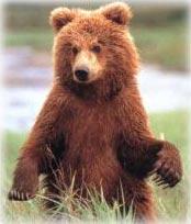 الدب  البني معلومات وصور Bear_brown
